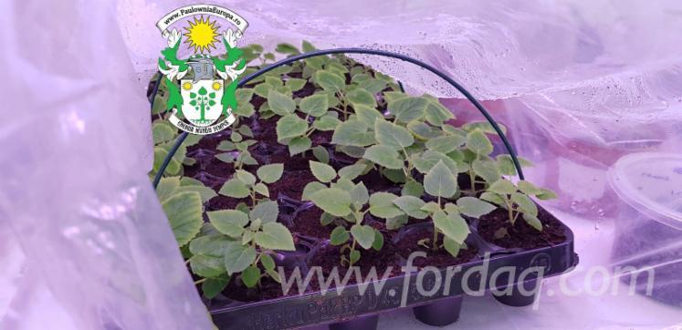 Paulownia-Seedlings-for-International