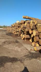 Softwood Logs Suppliers and Buyers - Southern Yellow Pine 20+ cm ABC Saw Logs from USA