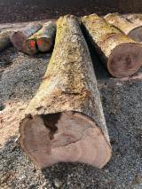 We Sell Red Oak Veneer Logs, 60+ cm
