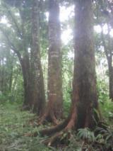 Forêts Et Grumes Océanie  - Vend Grumes De Trituration Acajou South Pacific