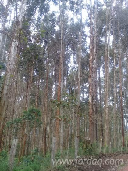 Eucalyptus-Forest-and-Land--Colombia