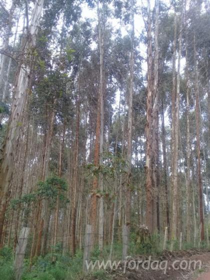 Vendo-Terreno-Forestale-Eucalipto