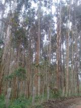 Лесистые Местности - Колумбия, Евкалипт