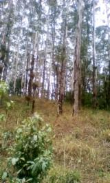 Find best timber supplies on Fordaq - Imex Inc. - 45.000 Eucalyptus Logs (Standing Trees)