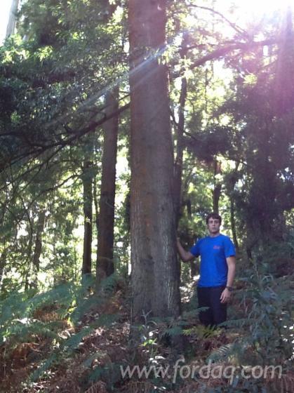 Blackwood-Logs-%28Acacia-Melanoxylon%29