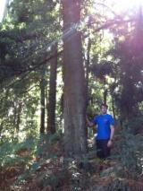 Grumes acacia noire (Acacia melanoxylon)