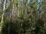 Лесистые Местности - Бразилия, Евкалипт