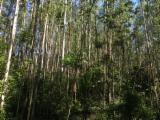 Brazil, Eucalyptus