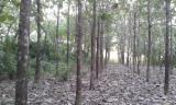 Volwassenbomen Te Koop - Koop Of Verkoop Van Hout Op Stam Op Fordaq - Colombië, Teak