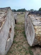 SAMAN LOGS processed to order - 2000 m3 available NOW