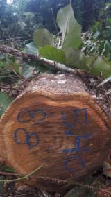 Find best timber supplies on Fordaq - ADS Finewooods Asia - Teak Log Offer