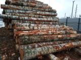Wälder Und Rundholz Asien - Furnierholz, Messerfurnierstämme, Birke