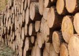 Pine - Scots Pine 400-600 mm super Industrial Logs Poland