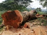 Hardwood Logs For Sale - Register And Contact Companies - Saw Logs, Saman