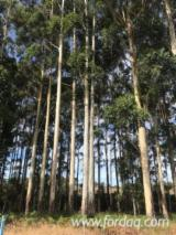 Ліс і Пиловник - Пиловочник