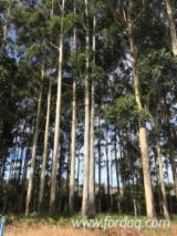 Forêts Et Grumes - Vend Grumes De Sciage Western Australia