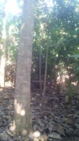 Mature Trees For Sale - Buy Or Sell Standing Timber On Fordaq - Peru, Teak
