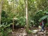 Arboles Maduros En Venta - Comprar O Vender Madera En Pie En Fordaq - Vendo madera teca de 11 años
