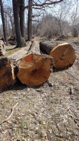 Oak Saw Logs, 40+ cm