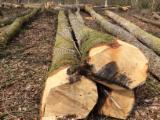 Forest and Logs - ABC Fresh White Oak Logs, 30-39 cm