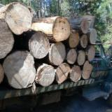 Softwood Logs Suppliers and Buyers - European Cypress 35; 80 cm Primera Saw Logs from Mexico