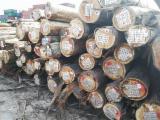 Floresta E Troncos - Troncos Descascados, Eucalipto