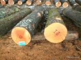 Hard Maple Logs, 12 in