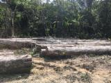 Greenheart Saw Logs, diameter 50+ cm