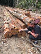 Copaiba Logs, 40+ cm diameter, A/B