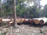 Angelim/Ipe/Basralocus Saw Logs, 50+ cm