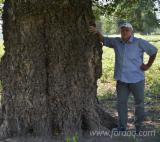 Black Poplar Veneer Logs, 40-200 cm