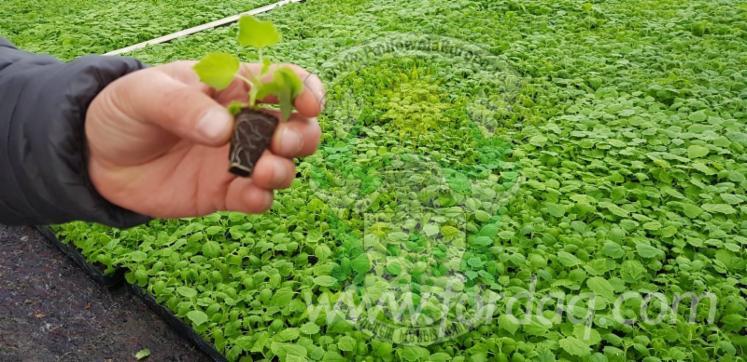 Romania Paulownia Seeds