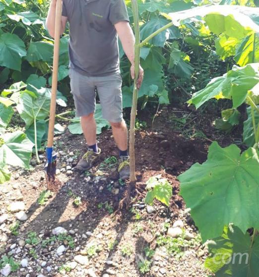 Paulownia-Planting