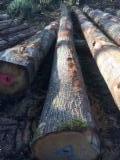 Schnittholzstämme, Roteiche