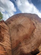 Red Oak Peeling Logs, 2SC & 3/4SC, 10