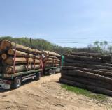 Yakacak Odun; Parçalanmış – Parçalanmamış Yakacak Odun – Parçalanmamış Gürgen, Kayın , Meşe