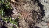 Poplar Peeling Logs, 90+ cm