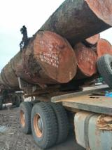 Forest And Logs - Doussie/Iroko/Sapelli Industrial Logs, 7+ m