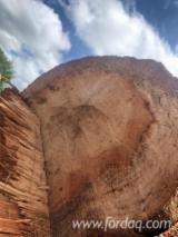 Vend Grumes De Déroulage Chêne Rouge Southern USA