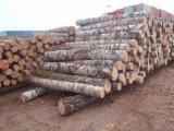 Forest And Logs - Birch Saw Logs, 12+ cm