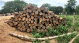 Colombian Teak Saw Logs, 66-110 cm