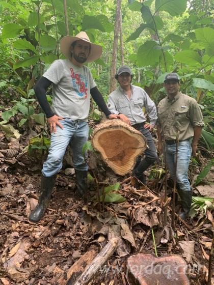Colombian Teak Saw Logs, 66-110 cm