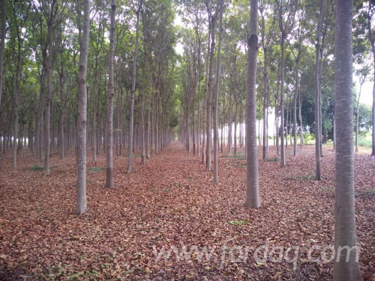 Floresta-de-Mogno-Brasileiro---Minas-Gerais