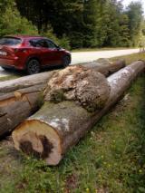 Beech/Mappa Burl Logs