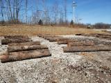 USA Black Walnut Saw Logs (3SC), 12