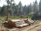Elliotis Pine/Taeda Pine Saw Logs, ABC, 2.9-5.9 m