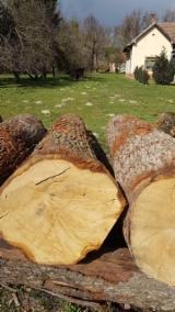 Interested in White Oak Veneer Logs, 60+ cm