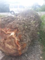 Black Poplar Veneer Logs, 50+ cm