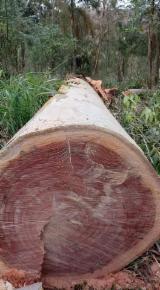 null - Brazilian Eucalyptus logs