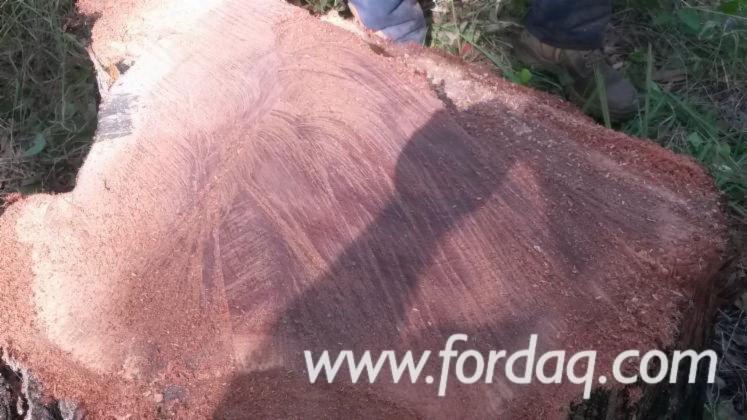 Vend-Grumes-De-Sciage-Turpentine-Queensland